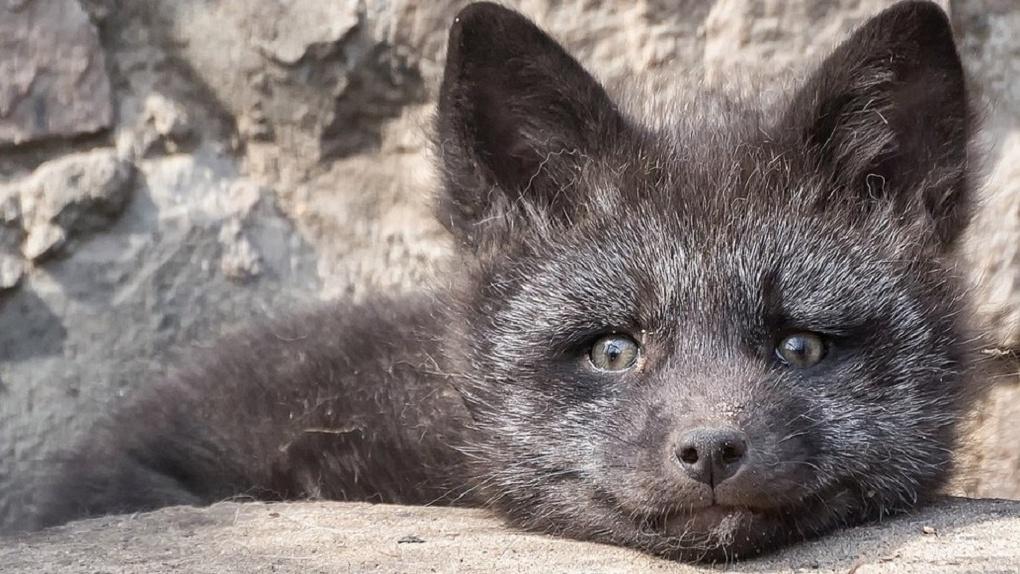 В Новосибирске нашли лисёнка, который угодил в яму