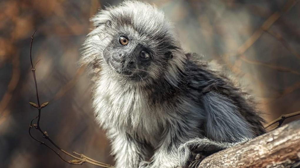 Новосибирский зоопарк сохранил 12 видов исчезающих обезьян