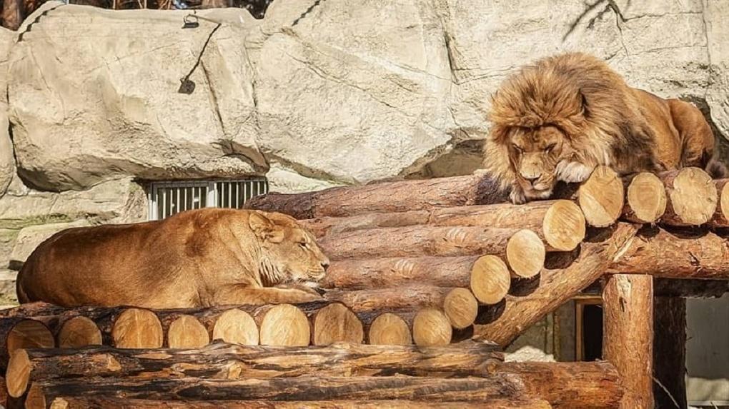 На что готов лев, чтобы поддерживать себя в форме? В Новосибирском зоопарке показали необычное видео