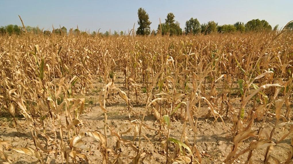 Омский министр сельского хозяйства обвинил в трудностях с урожаем синоптиков