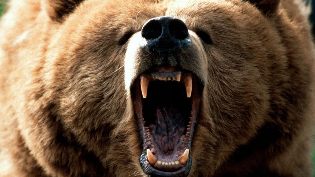 В Омской области оголодавший медведь нападает на деревенские дворы