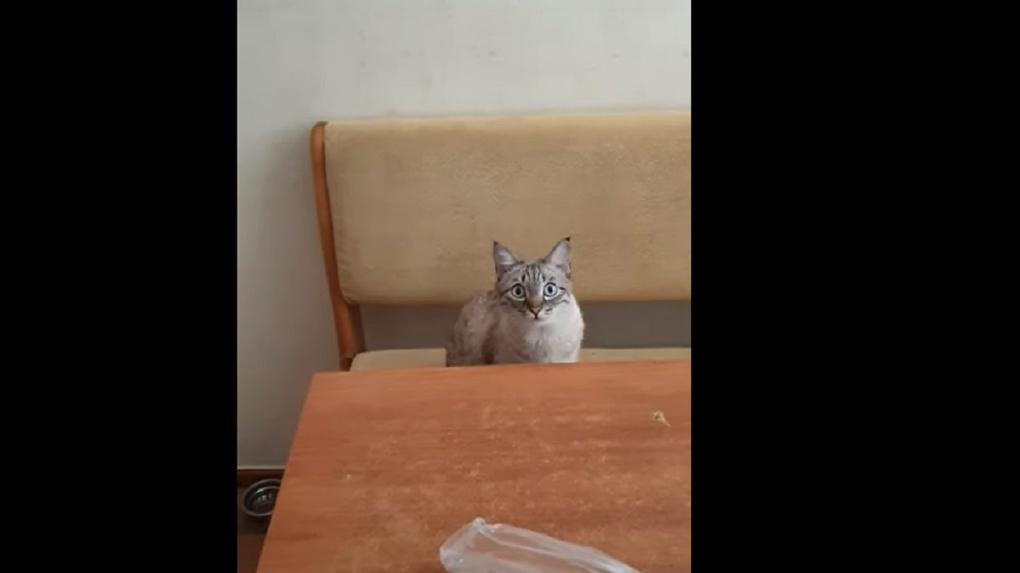 Новосибирский кот «загипнотизировал» хозяина