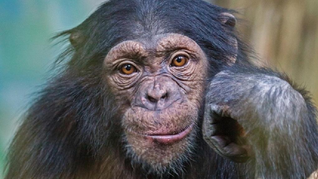 В Новосибирский зоопарк попали шимпанзе, которые чудом спаслись от браконьеров