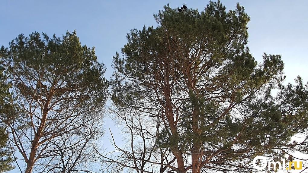 Омским детям угрожают сотни аварийных деревьев. Их потребовали спилить