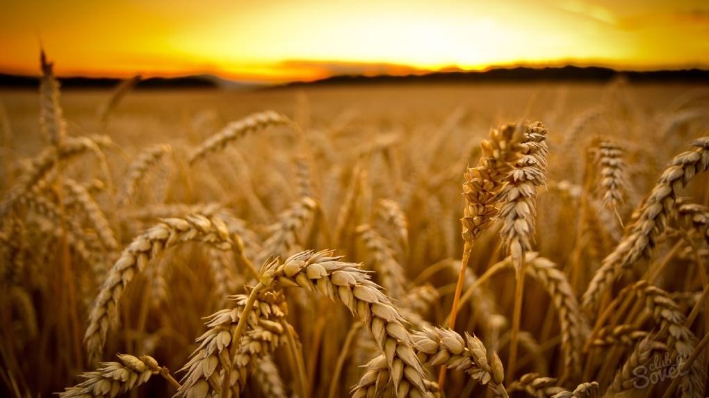 Китайцы хотят перерабатывать омское зерно