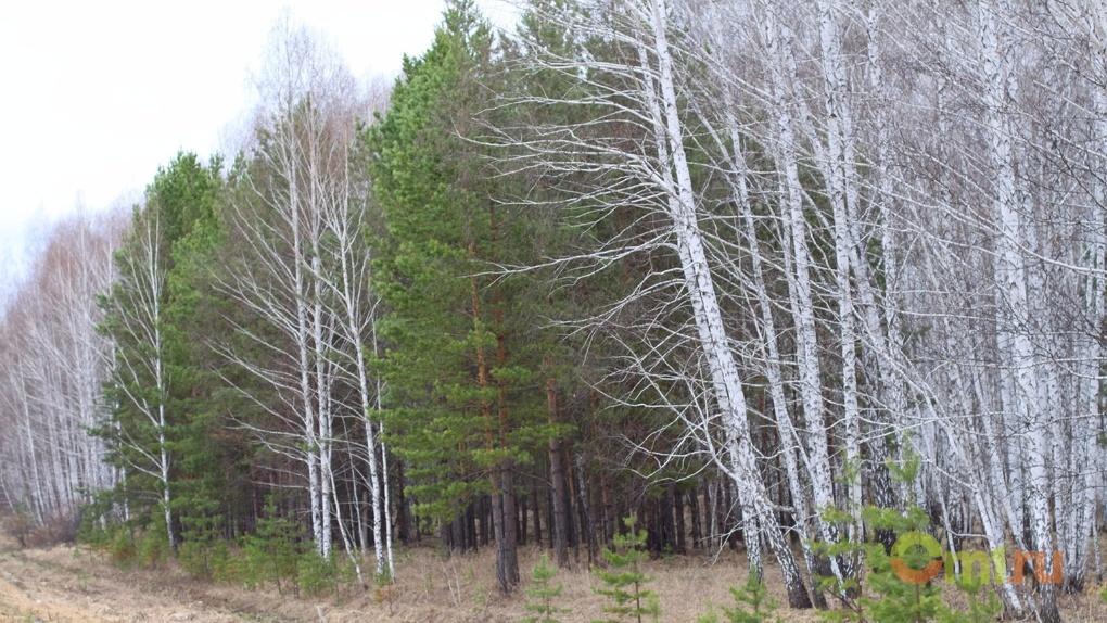 В Омской области лиственные деревья переработают в палочки для мороженого