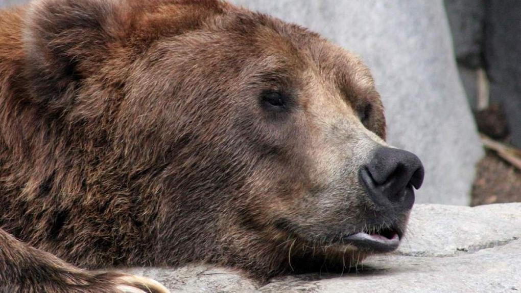 В Большереченском зоопарке спят уже двое медведей - ФОТО