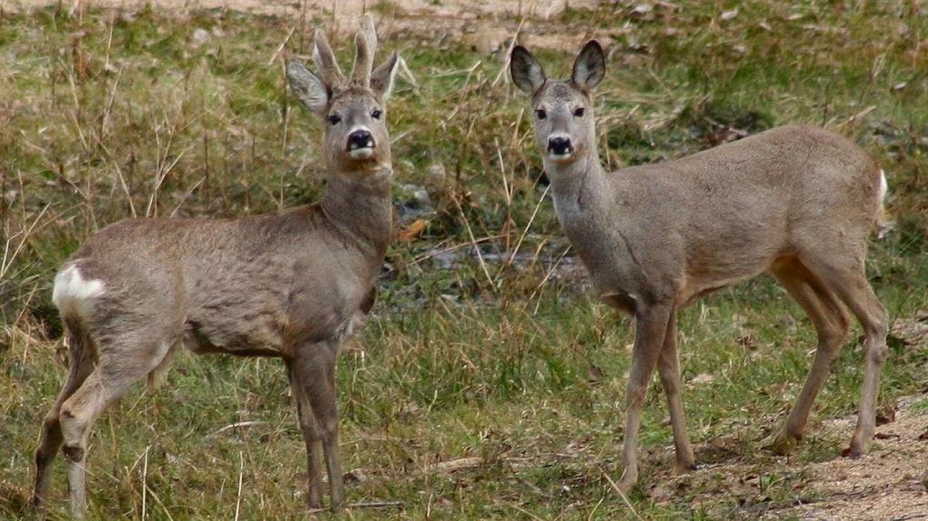 В Омской области браконьер застрелил двух косуль
