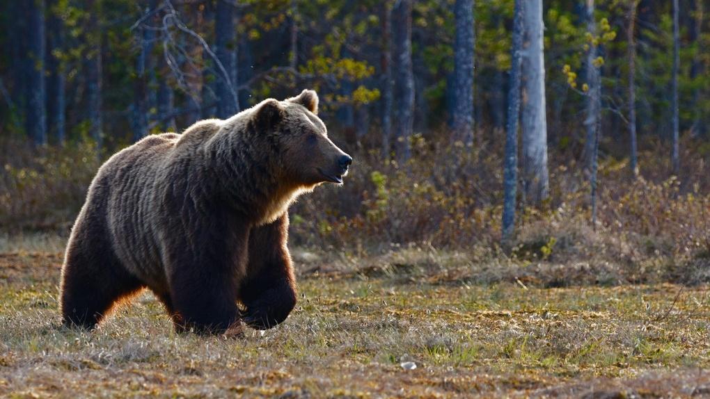 Омских медведей накормили повидлом и медом