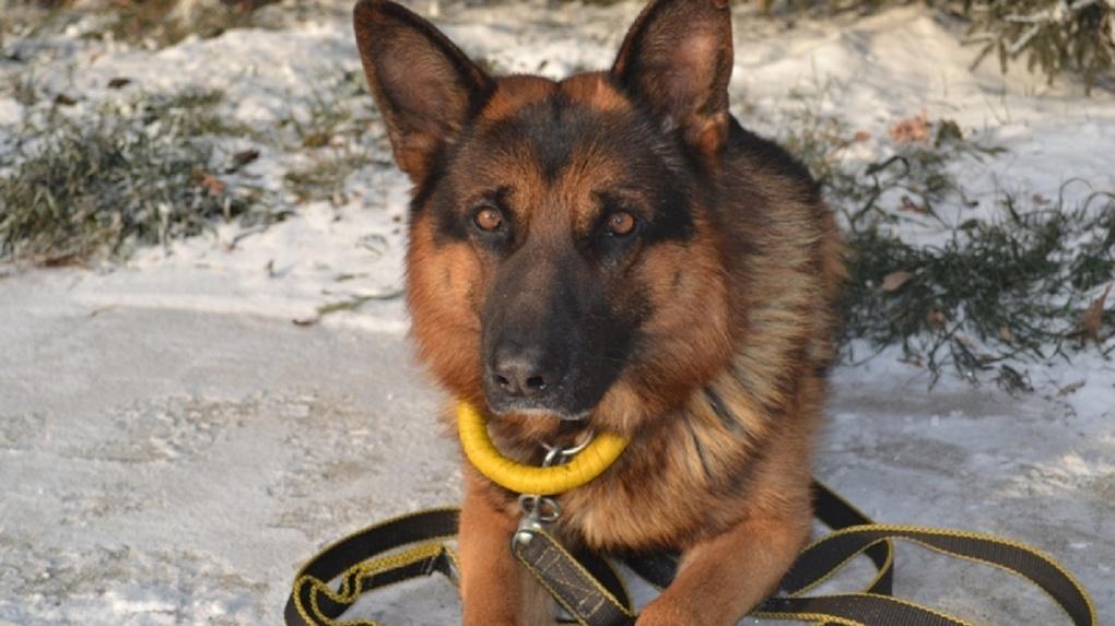 Омский пес, названный в честь привидения, раскрыл дачную кражу
