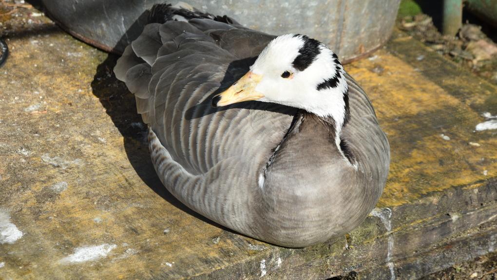 «Задушил утку на глазах у детей»: новосибирцу вынесен приговор за жестокое обращение с птицей
