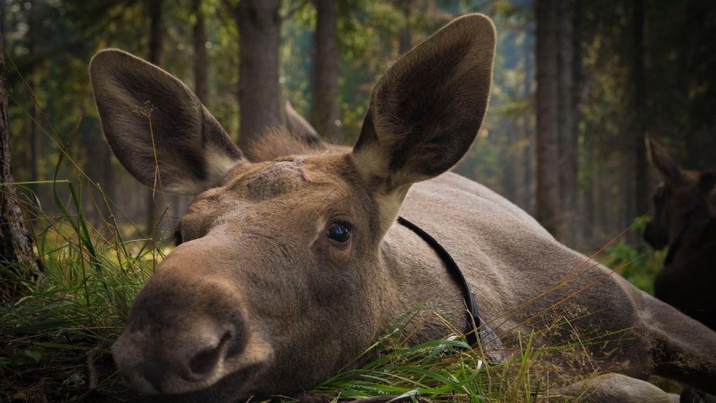 В Омской области браконьеры застрелили трех лосей
