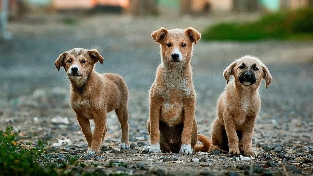 В Омске на детской площадке заметили стаю бездомных собак