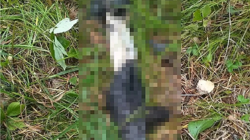 Шкуры расчленённых животных в лесу шокировали новосибирскую грибницу