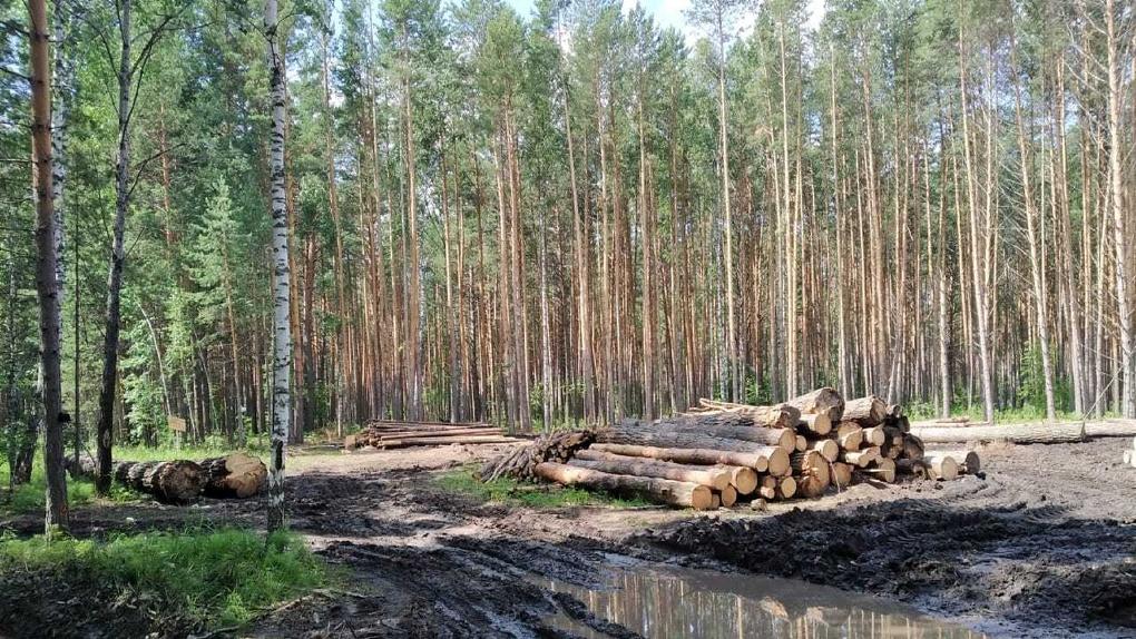 «Место силы» под угрозой. На родине омского фестиваля «Солнцестояние» массово вырубают лес