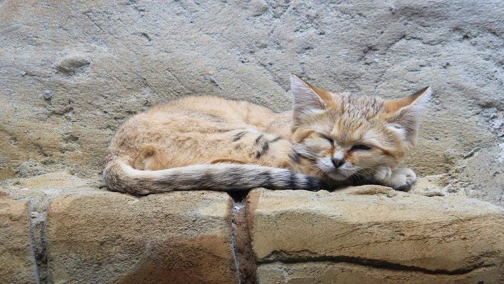 В Новосибирский зоопарк привезли барханную кошку из Франции