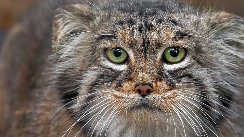 В Новосибирском зоопарке рассказали, за чей счёт живут самые загадочные кошки