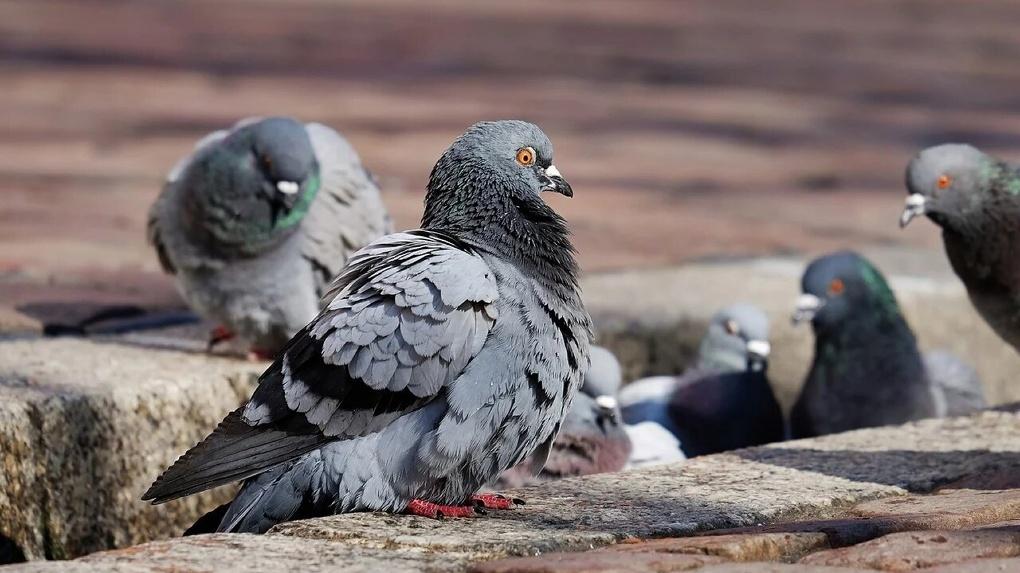 Орнитолог объяснил массовую гибель голубей в Омске
