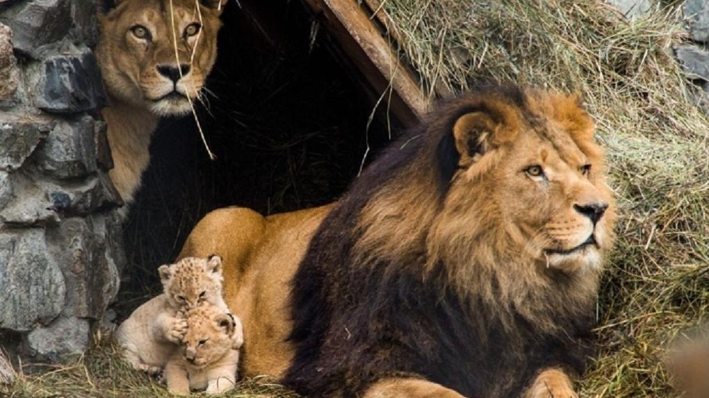 160 тонн мяса в год съедают животные Новосибирского зоопарка