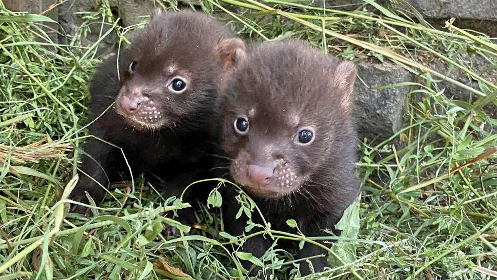 В Новосибирском зоопарке родились необычные щенки
