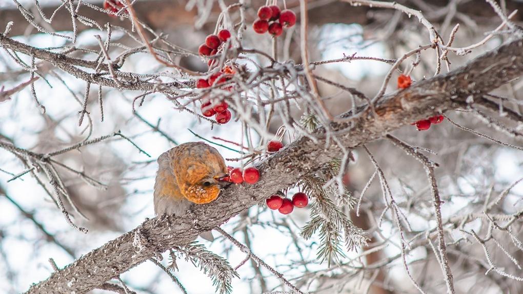 Финские попугаи прилетели на зимовку в Новосибирскую область