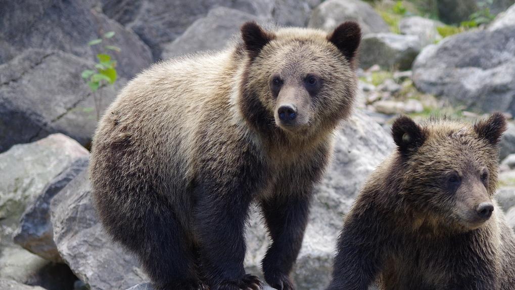 Дикий медведь бегал по улице в новосибирском селе