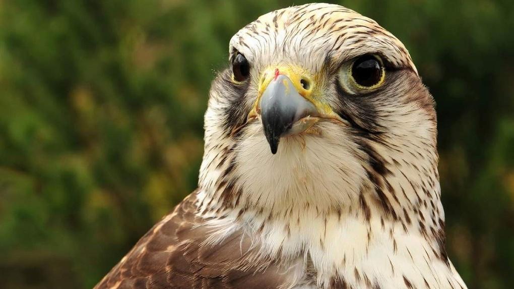 Сибирские орнитологи восстанавливают популяцию балобанов