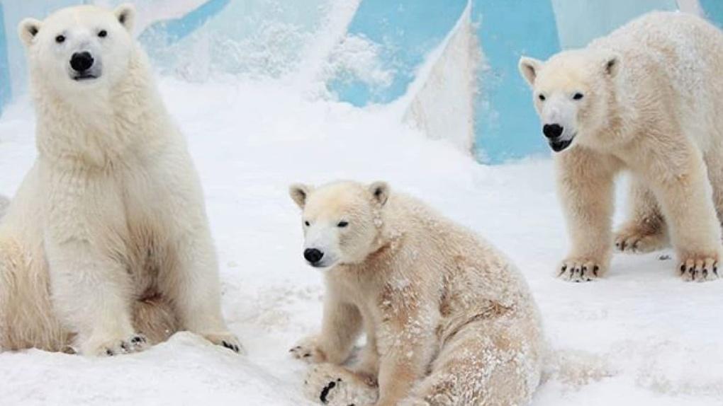Дед Мороз поздравил белых медведей Новосибирского зоопарка с Новым годом