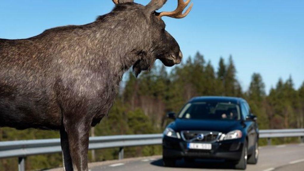 Водитель в шоке: под Новосибирском иномарка насмерть сбила лося
