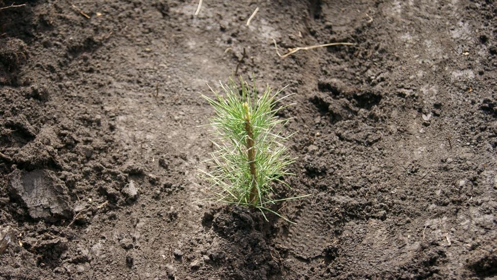Для восстановления омских лесов посадили 5 млн деревьев