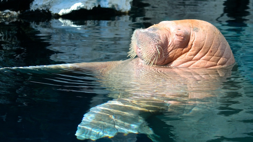 Новосибирский суд признал незаконным содержание моржей в местном дельфинарии
