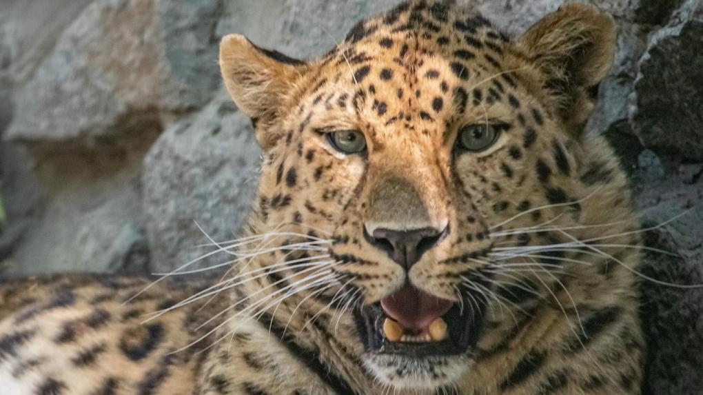 Редкого леопарда привезут в Новосибирский зоопарк для создания семьи
