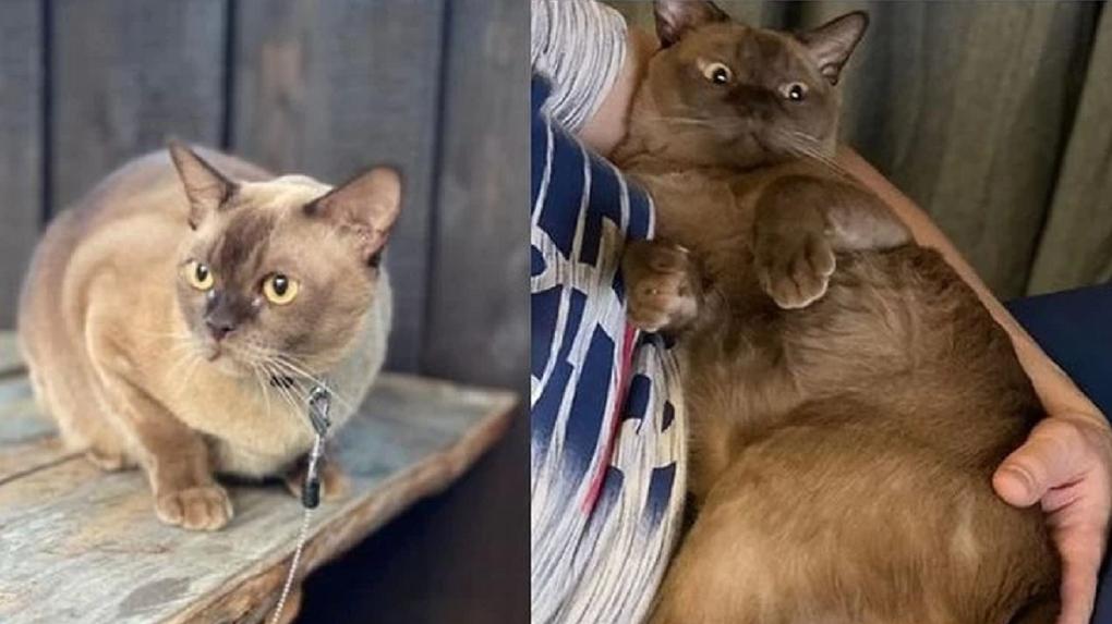 Новосибирец готов заплатить 50 тысяч рублей спасителю любимого кота