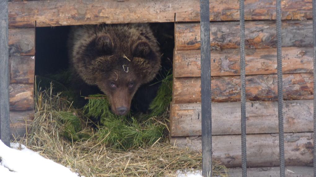 В Большереченском зоопарке засыпают все медведи, кроме одной Сони – ФОТО