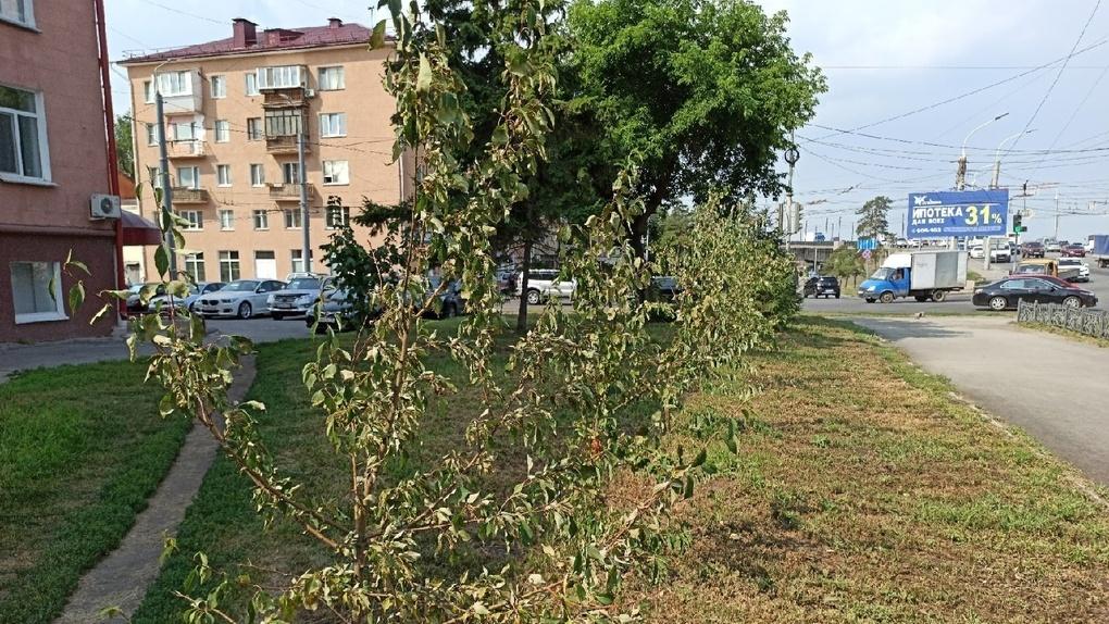 На популярном маршруте Омска погибают деревья