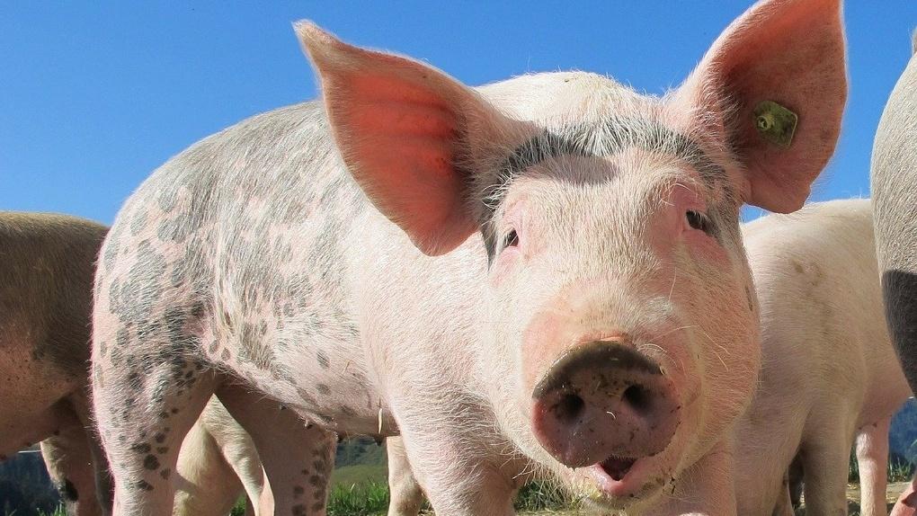 Не доехали до мясокомбината: в Омске перевернулся большегруз с двумя сотнями свиней