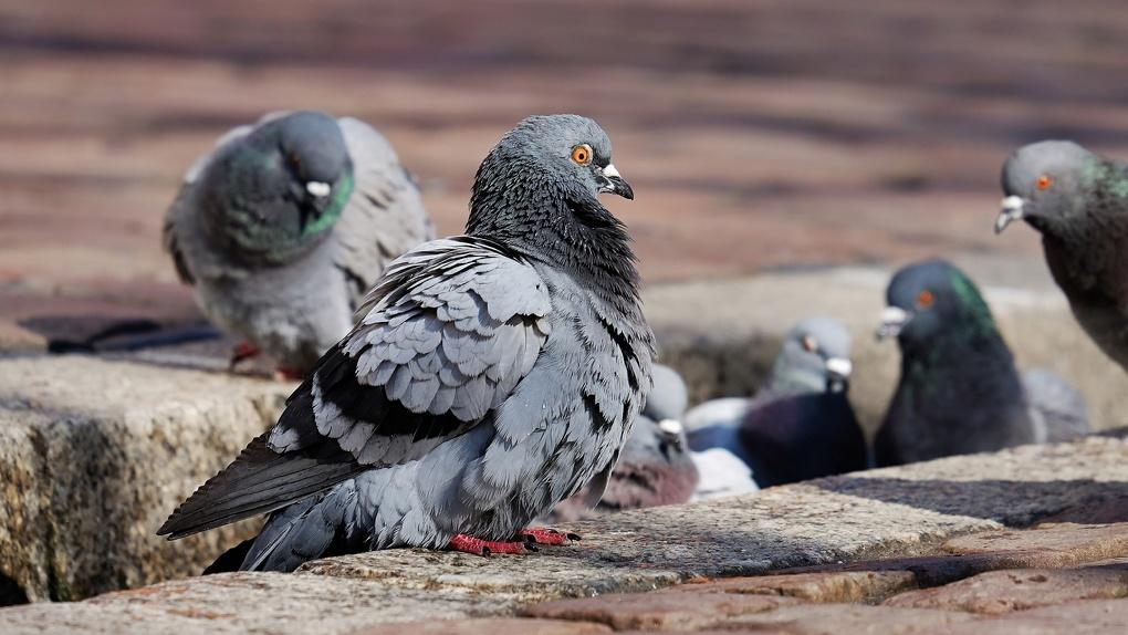«Может, от жары»: в Новосибирске массово умирают птицы