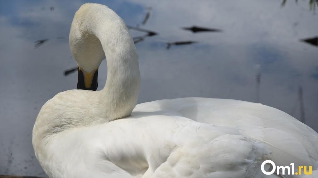 В Омской области браконьеры подстрелили краснокнижного лебедя