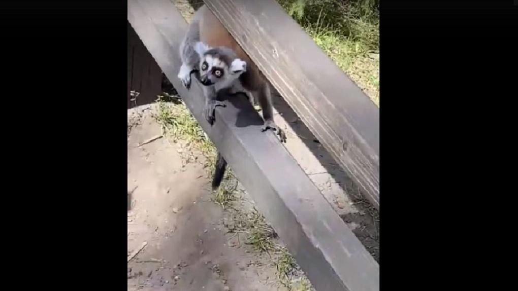 Из клетки сбежали лемуры в Новосибирском зоопарке
