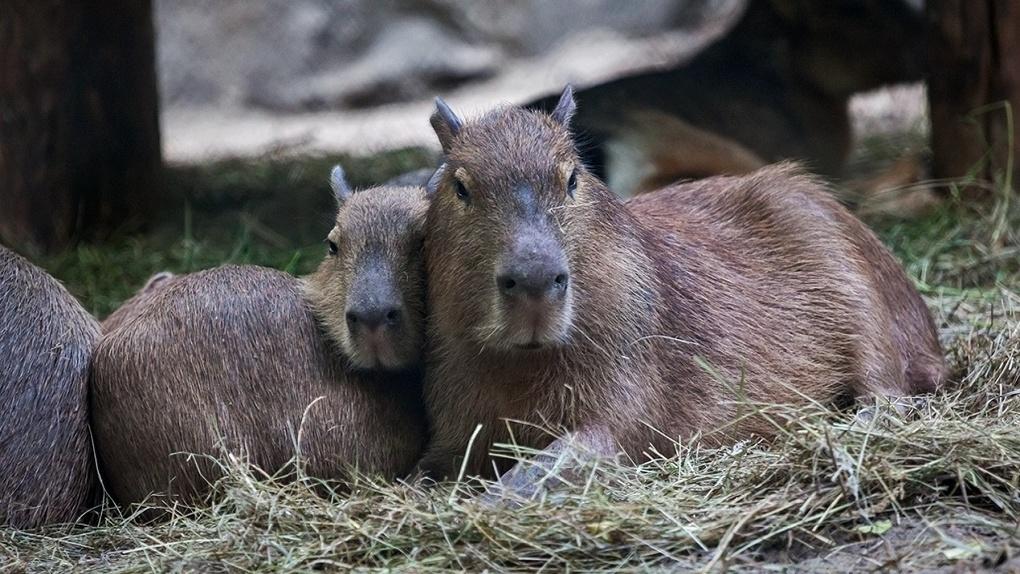 В Новосибирском зоопарке поселился грызун весом более 60 килограммов