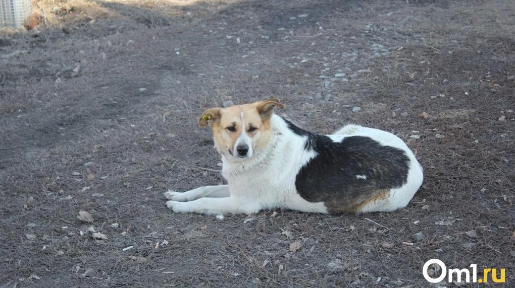 Сотрудники омского муниципального приюта организовали поиски собаки, которая напала на ребёнка