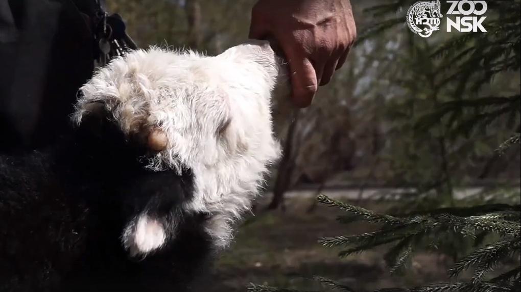 В Новосибирском зоопарке родился як, который выпивает шесть литров молока в день