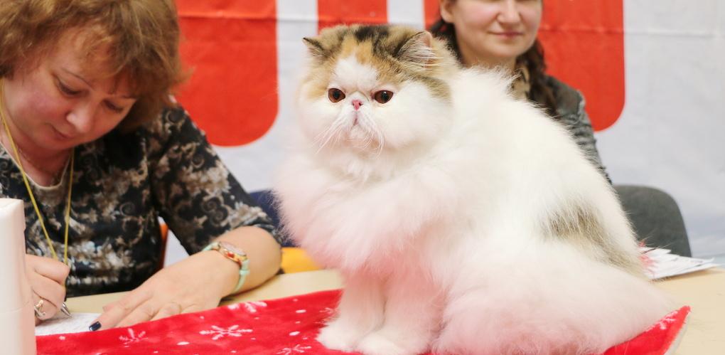 Участников Всемирной выставки кошек не пустили в омские гостиницы