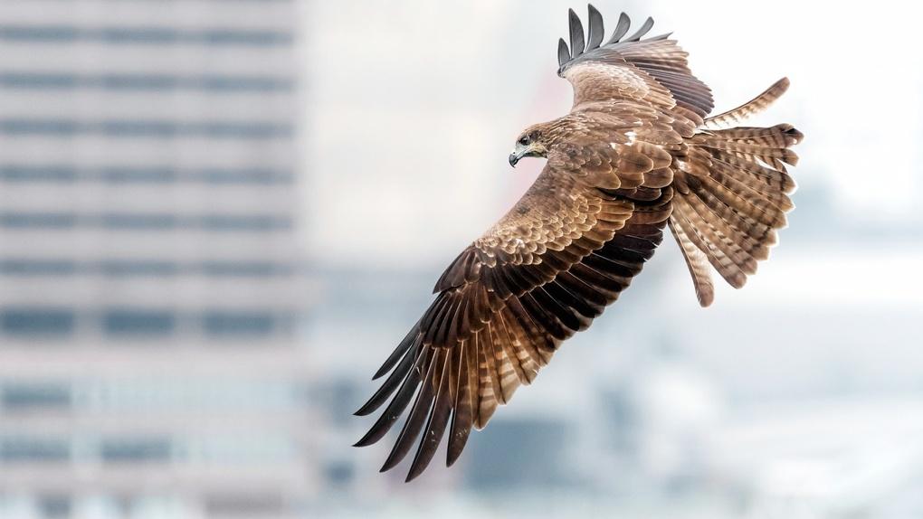 «Повелитель коршунов»: новосибирец приручил птицу и стал звездой мирового интернета