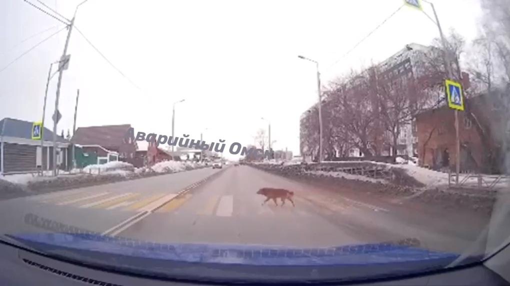 Омский пес показал, как нужно переходить дорогу (ВИДЕО)