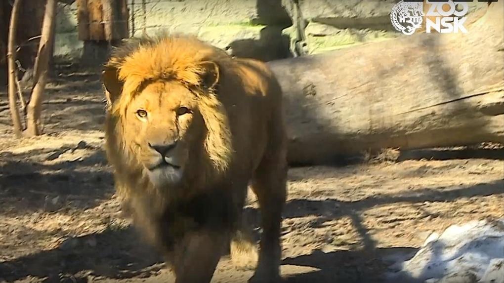 Львы и тигры из Новосибирского зоопарка осваиваются в новом доме