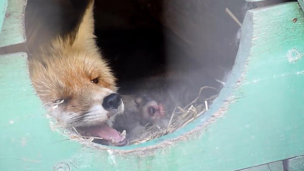 Омский зоопарк выложил умилительное видео с новорожденными лисятами