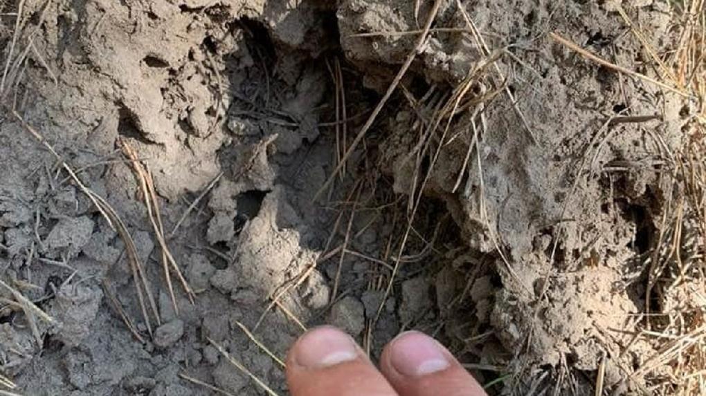 Страшные следы медведя и останки добычи зверя обнаружил новосибирец