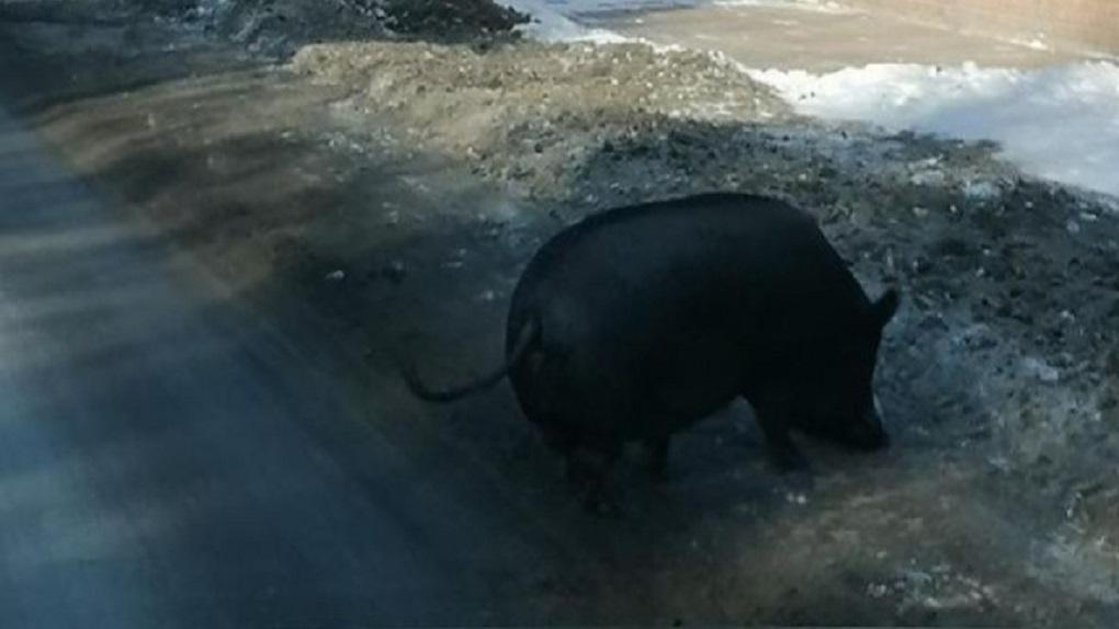 В омских Нефтяниках у дороги заметили чёрную свинью