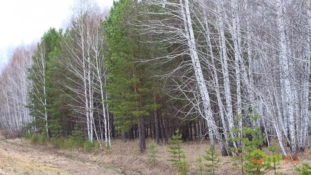 Банда лесорубов в Омской области уничтожила лес на 30 миллионов рублей – ВИДЕО